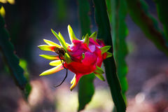 Red dragon fruit tree in the garden. Royalty Free Stock Photo