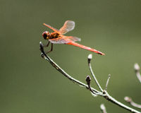 Red Dragon. A green dragonfly perches on a limb at the edge of the lake Stock Photo