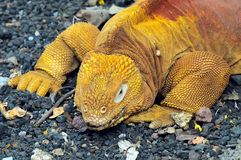 Red Dragon. Land iguana. Conolophus subcristatus Royalty Free Stock Photography