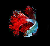 Red dragon siamese fighting fish, betta fish  on black b Royalty Free Stock Photography