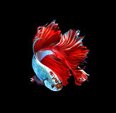 Red dragon siamese fighting fish, betta fish isolated on black b. Ackground stock photos