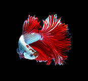 Red dragon siamese fighting fish, betta fish isolated on black b. Ackground royalty free stock image