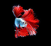 Red dragon siamese fighting fish, betta fish isolated on black b. Ackground stock photo