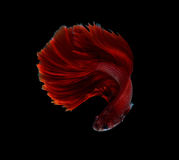 Red dragon siamese fighting fish, betta fish isolated on black b Stock Image