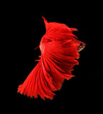 Red dragon siamese fighting fish, betta fish isolated on black b. Ackground royalty free stock photos