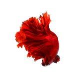 Red dragon siamese fighting fish, betta fish isolated on black b. Ackground stock photo