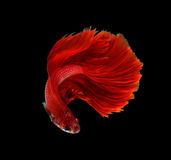 Red dragon siamese fighting fish, betta fish isolated on black b. Ackground royalty free stock photography