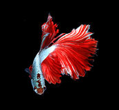 Red dragon siamese fighting fish, betta fish isolated on black b. Ackground stock image
