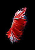 Red dragon siamese fighting fish, betta fish isolated on black b Royalty Free Stock Photo