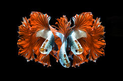 Red dragon siamese fighting fish, betta fish isolated on black b. Orange dragon siamese fighting fish, betta fish isolated on black background.3 Orange dragon royalty free stock photo