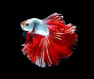 Red dragon siamese fighting fish, betta fish isolated on black b. Ackground.copy space background stock photos