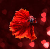 Red dragon siamese fighting fish, betta fish on red blur bokeh h. Eart background royalty free stock image