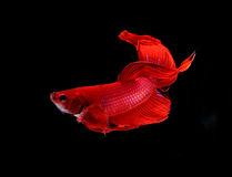 Red dragon siamese fighting fish , betta isolated on white backg. Round royalty free stock images