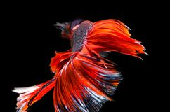 Red dragon Siamese fighting fish movement isolated on black back. Ground stock image