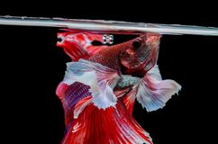 Red dragon Siamese fighting fish movement isolated on black back. Ground stock photography