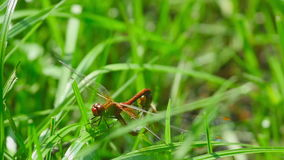 Red dragonflies mate. Among the blades of grass stock video footage