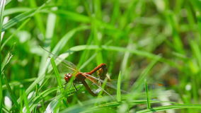 Red dragonflies mate. Among the blades of grass stock footage