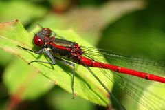 Red Dragonfly. A red Dragonfly on a leaf Royalty Free Stock Image