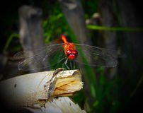 Red dragonfly. Take at the lake of Balaton in Hungary Stock Photography