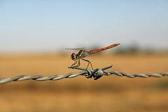 Free Red Dragonfly Stock Images - 11508634