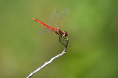 Red Dragonfly. Dragonfly close up on a twig Stock Photo