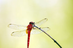 Red dragonfly. A close-up image of a red dragonfly perching on a twig royalty free stock image