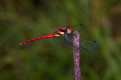 Red dragonfly. Close up of red dragonfly image Royalty Free Stock Photos