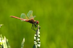 Red dragonfly Stock Photo