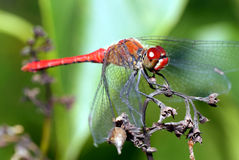 Red dragonfly. Stock Photos