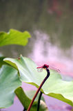 Red Dragonfly. A red dragonfly rests on lotus leaf Royalty Free Stock Photography