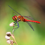A red dragonfly Stock Image
