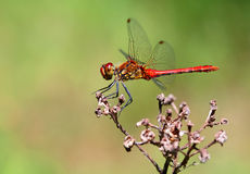 A red dragonfly Stock Images