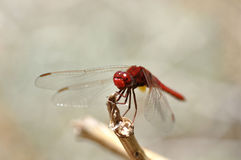 Free Red Dragonfly Royalty Free Stock Photography - 15985427