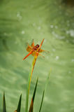 Red Dragonfly. A Close Up of a Red Dragonfly royalty free stock photography