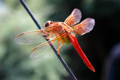 Red Dragonfly. On a wire Royalty Free Stock Images