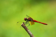 Red Dragonfly Stock Photos