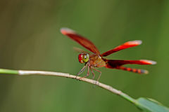 Red dragonfly. A dragonfly is an insect belonging to the order Odonata, the suborder Epiprocta or, in the strict sense, the infraorder Anisoptera. It is royalty free stock photos