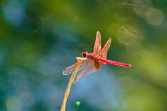 Red Dragonfly. A Red Dragonfly Stand on a branch Stock Image