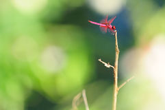 Red dragonfly Royalty Free Stock Images