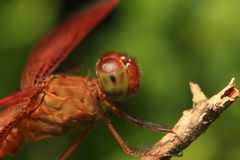 A red dragonfly Stock Photo
