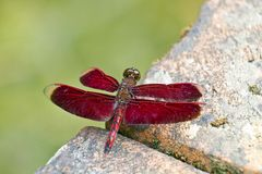 Red dragonfly Royalty Free Stock Photography