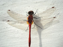 Red Dragonfly. Dragonfly sits on the board Royalty Free Stock Photos