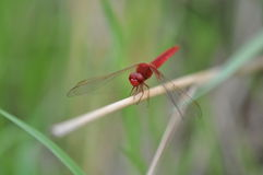 Red Dragonfly. A red dragonfly on lotus leaf, red-veined darter.A red dragonfly at rest Stock Photography