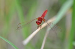 Red Dragonfly. A red dragonfly on lotus leaf, red-veined darter.A red dragonfly at rest Stock Photos