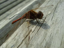 Red dragonfly 4. Red dragonfly sitting on a piece of wood Stock Photo