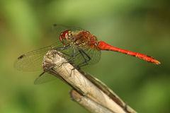 Red Dragonfly. Resting on a branch with its wings open Royalty Free Stock Images