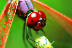 Red Dragonfly. Macro of a red dragonfly resting in a broken stem stock images