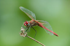 Red dragonfly. Close up Stock Image