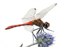 Free Red Dragonfly Stock Images - 854324