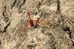 Red Dragonfly. Macro shot of a bright red dragonfly on an old tree trunk Royalty Free Stock Image